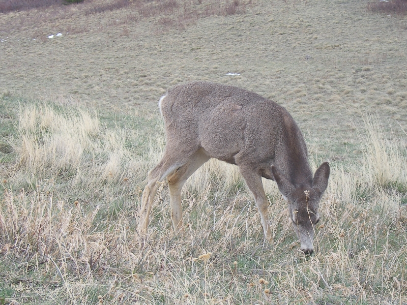 A grazing deer alongside the road, Canada