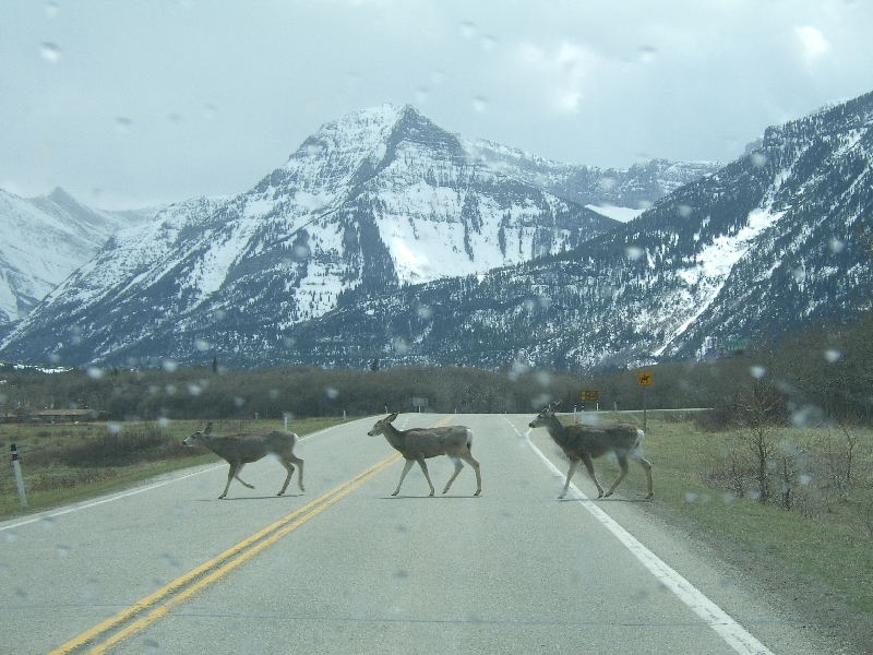 Group of deer crossing the road, Canada