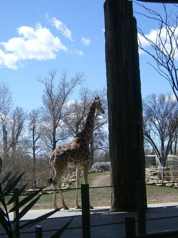Giraffe at the zoo, Canada