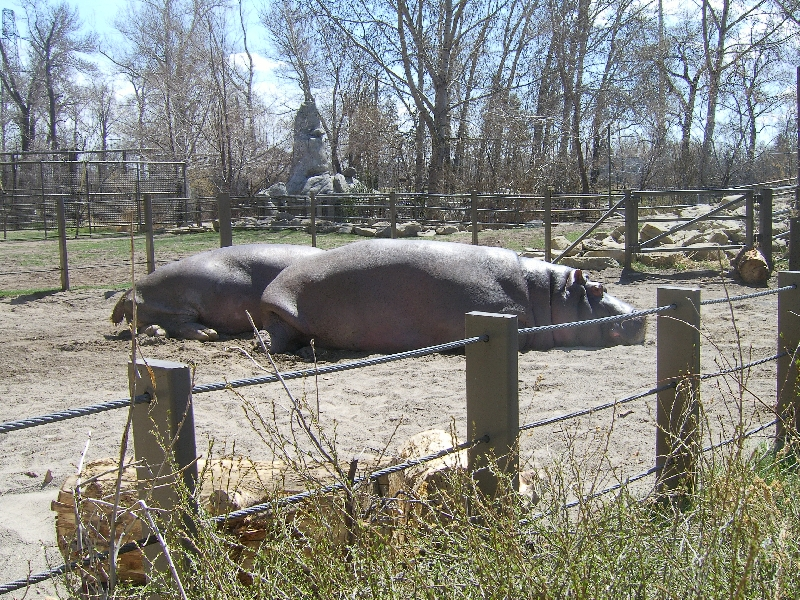 Lazy hippos at the Calgary Zoo, Canada