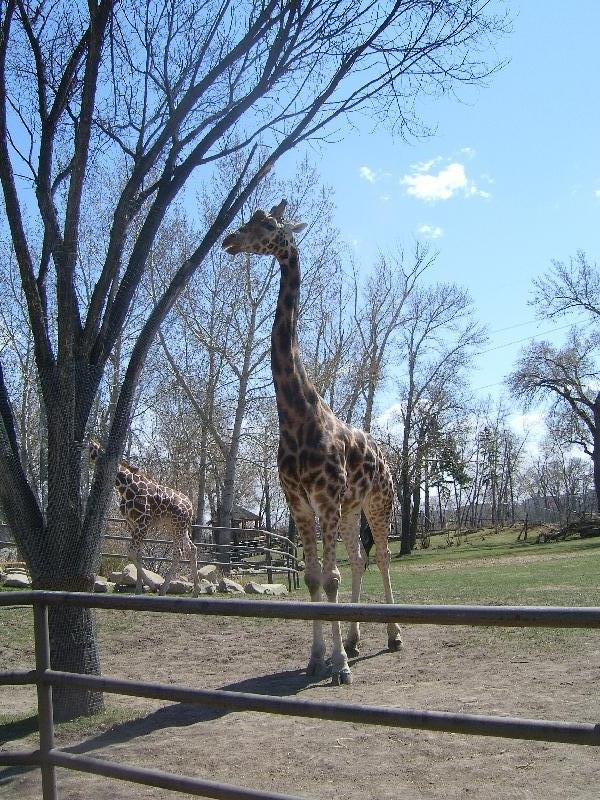 Giraffe at the Calgary Zoo, Calgary Canada