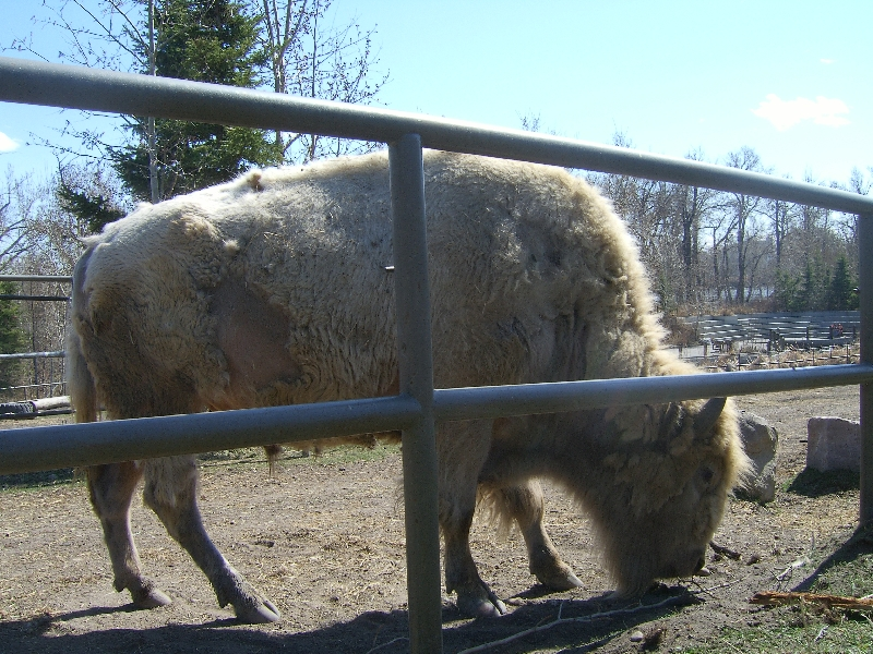 A huge bison at the zoo, Canada