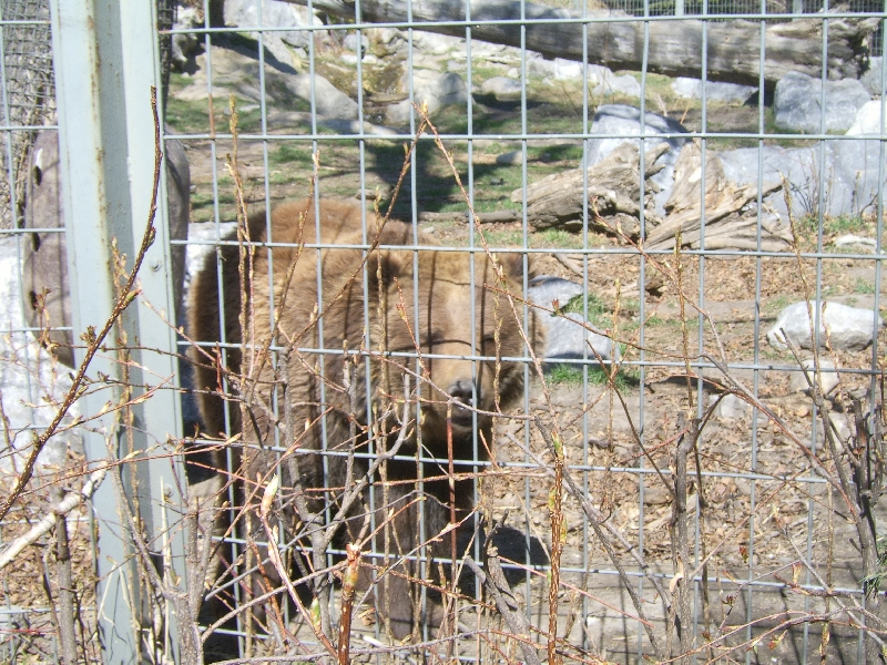 Bears at the Calgary Zoo, Canada