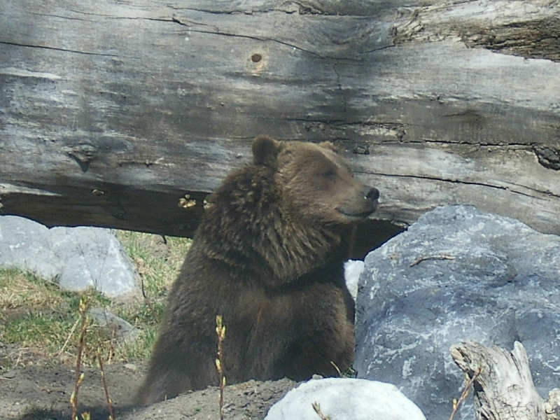 Grizzly Bear at the Calgary Zoo, Canada