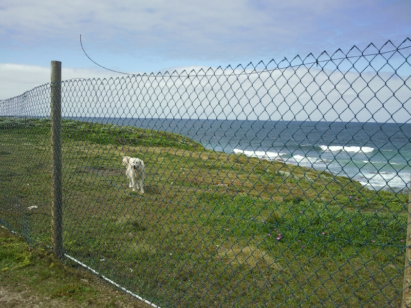 Maremma dog in Portland, Australia