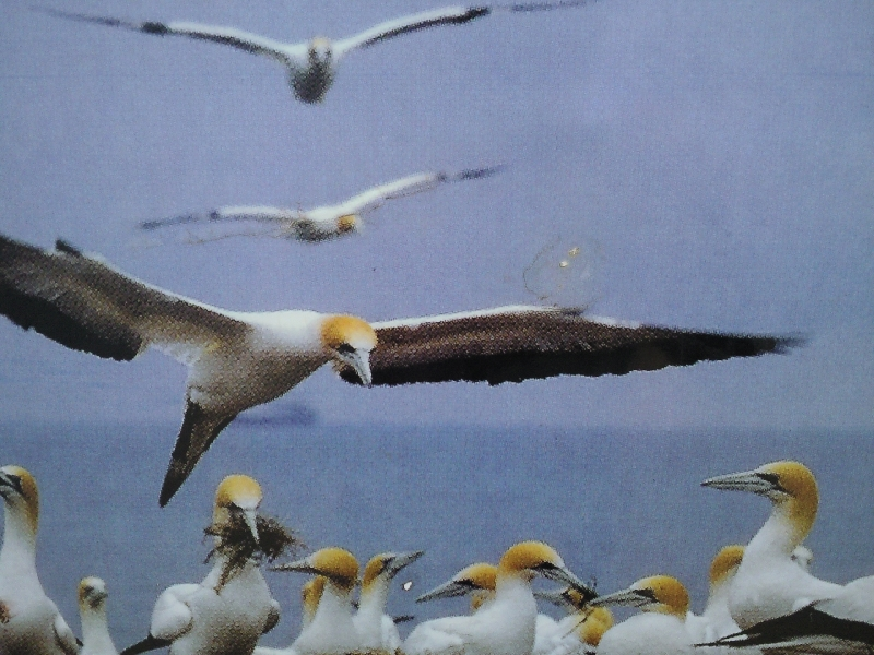 The gannets on Point Danger, Australia