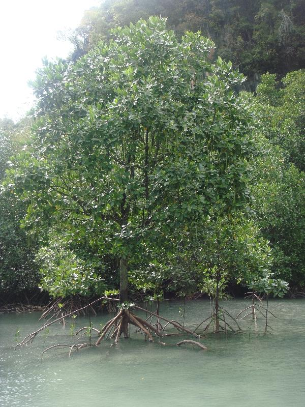 The mangrove trees , Thailand