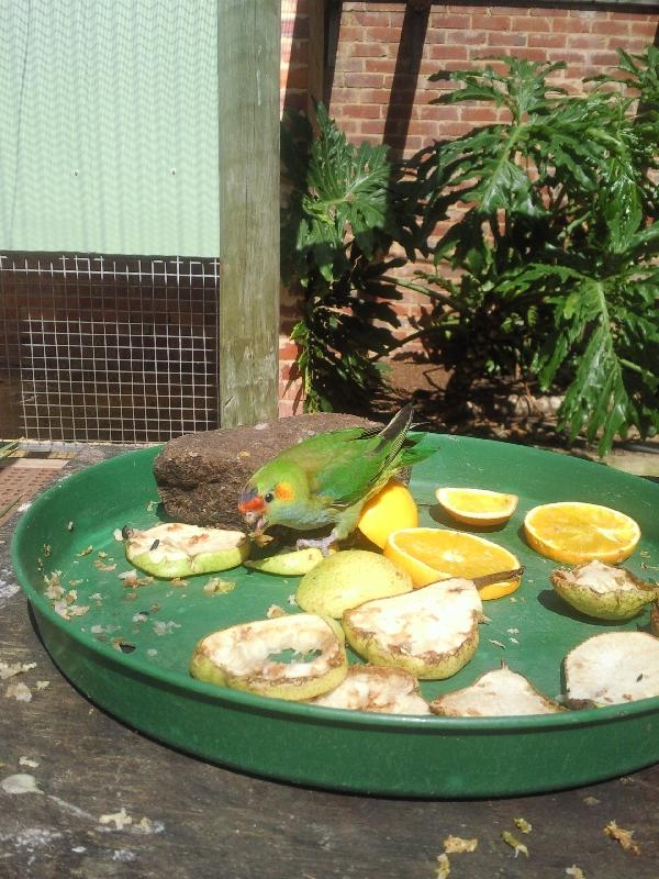 Cute little parrot eating Kalbarri