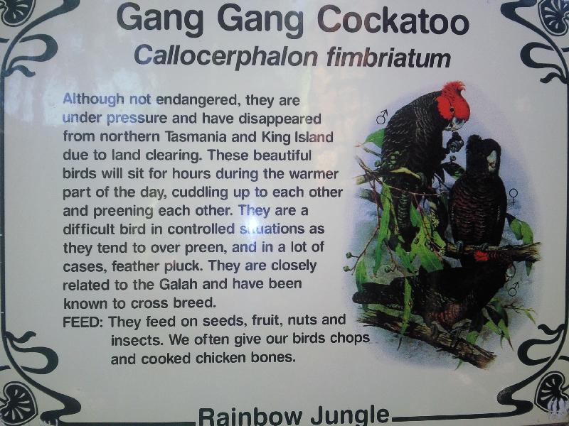 Gang Gan Cockatoos in Kalbarri, Australia