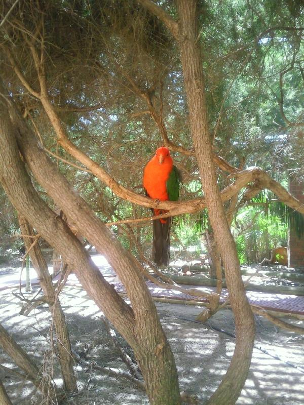 Kalbarri Australia Parrot in the trees