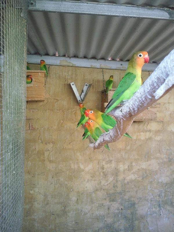 Pictures of Fischer's lovebirds, Kalbarri Australia