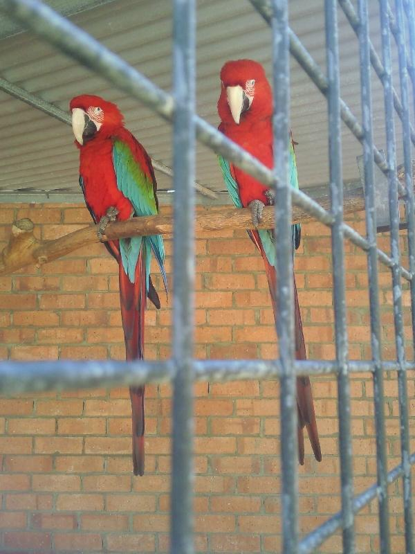 Beautiful parrots in Kalbarri, Australia