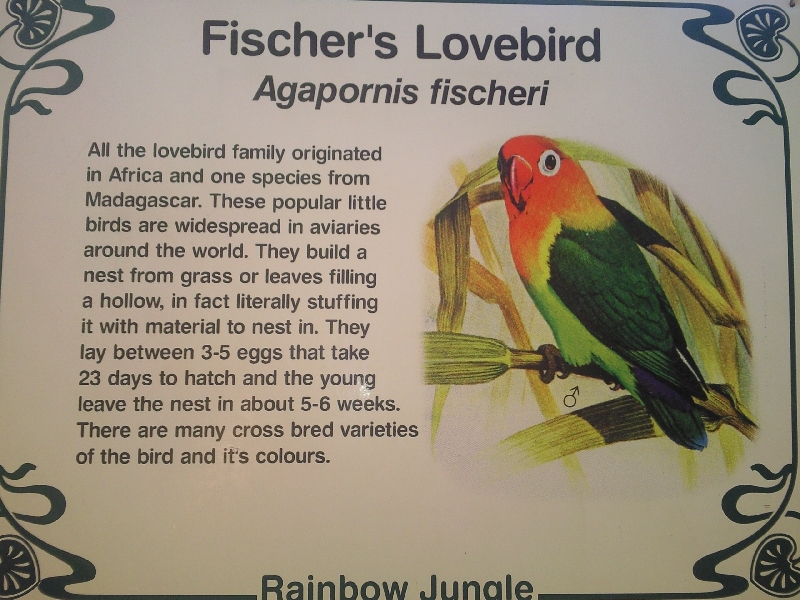 Fischer's Lovebird Parrot, Australia