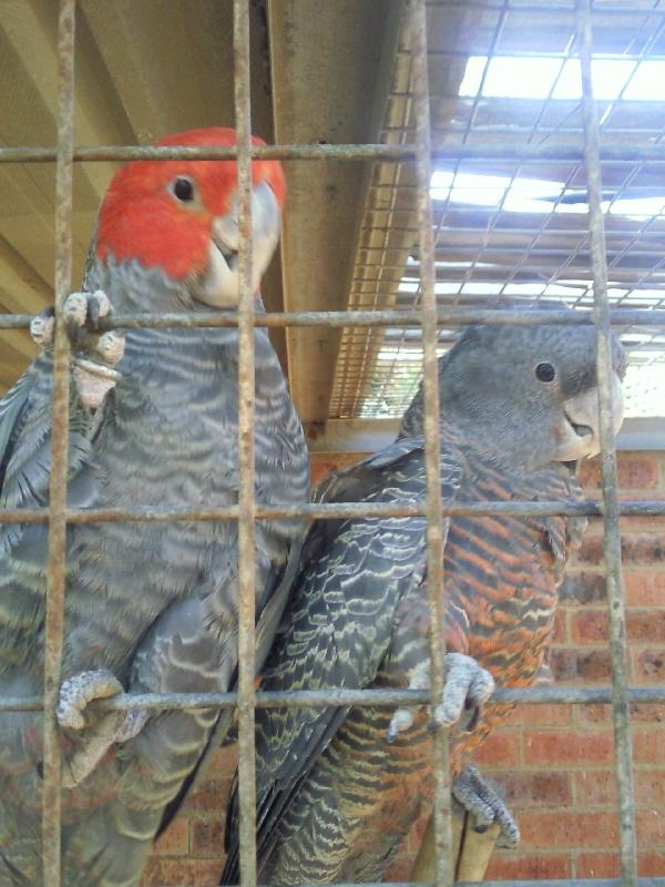 Two Gang Gan Cockatoos, Australia