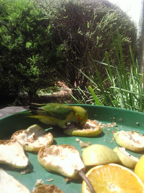 Tiny parrot in Western Australia, Australia
