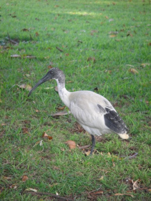Australian White Ibis in Sydney, Australia