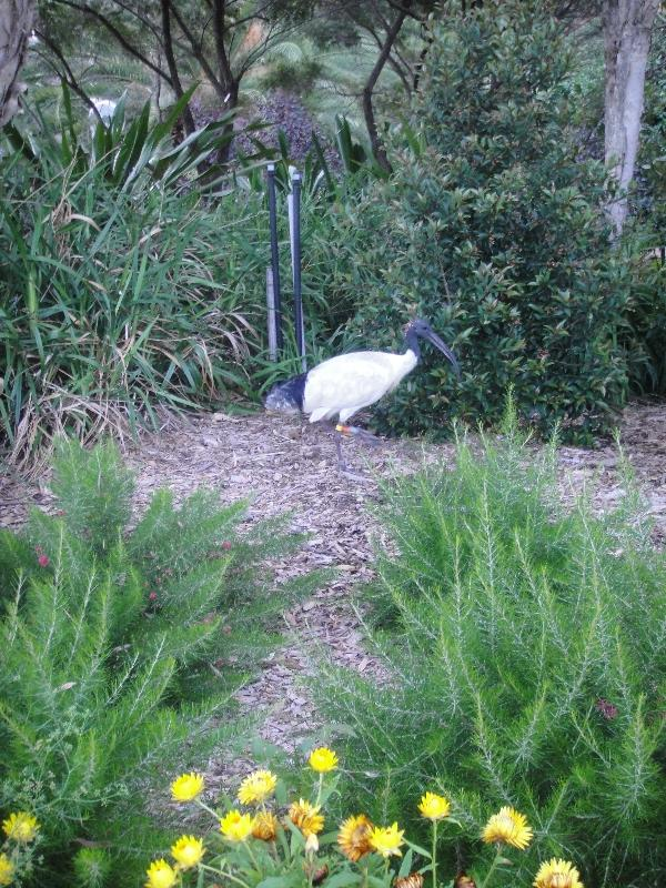 White Ibis in Sydney, Australia