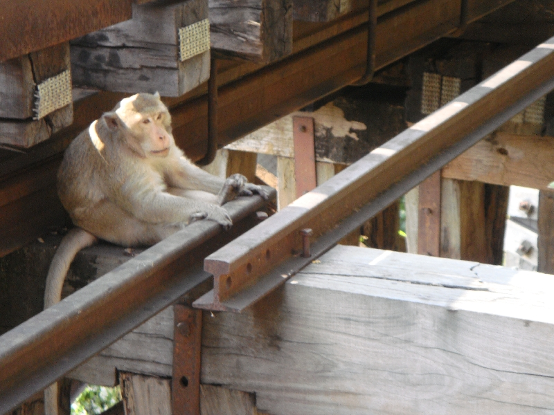 Monkey on the River Kwai , Kanchanaburi Thailand