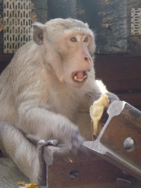 Kanchanaburi Thailand Wild Monkey in Kanchanaburi