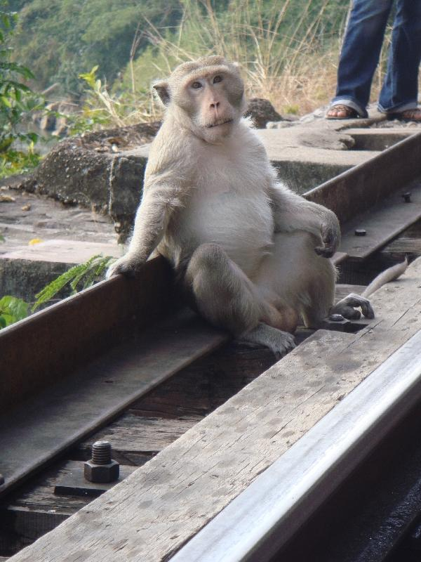 Pictures of a Thai monkey, Kanchanaburi Thailand