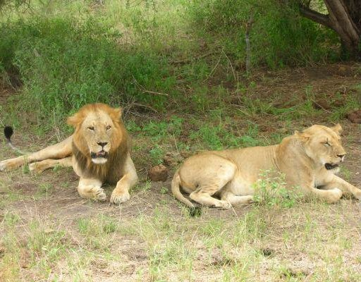 Lions during Safari in Kenya, Kenya