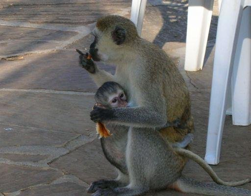 Monkey with young in Kenya, Mombasa Kenya