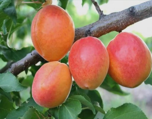 Apricots in Malatya, Turkey, Turkey