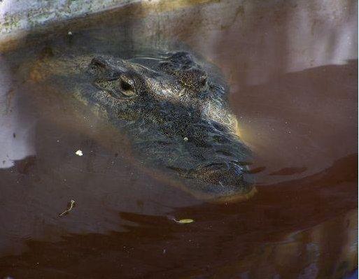 A crocodile! Mexico, Yucatan, Yucatan Mexico
