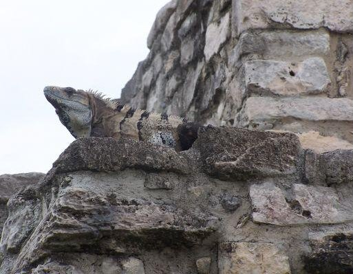 A typical Mexican Iguana, Yucatan Mexico