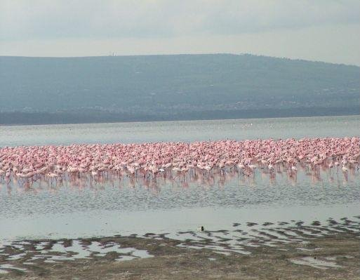Flamingo population Lake Nakuru, Masai Mara Kenya