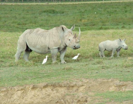 Rhino's in Kenya's Masai Mara Reserve, Kenya