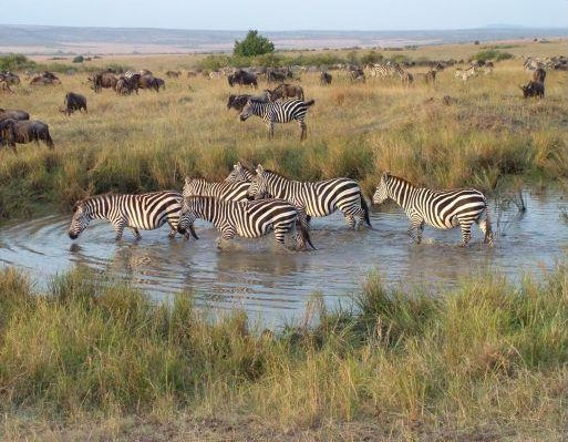 Zebra's, period of the Great Migration, Masai Mara Kenya