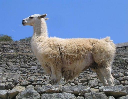 Lama in Machu Picchu, Machu Picchu Peru