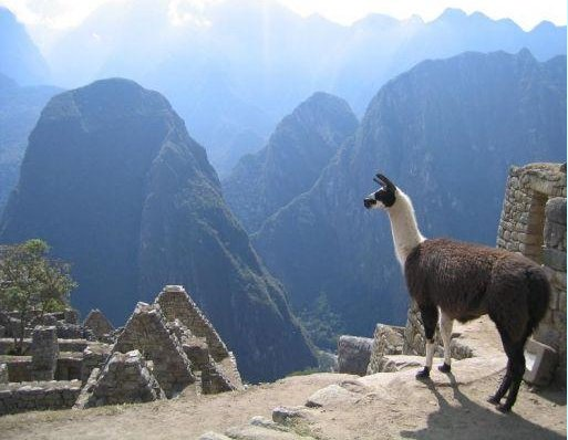 Picture of a Lama in Machu Picchu, Machu Picchu Peru