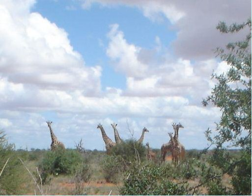 Photos of the giraffes in Kenya, Kenya