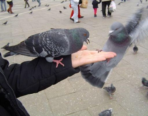 Photos of the pigeons in Venice., Italy