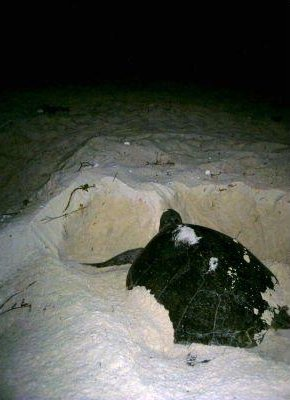Photos of the turtles in Cayo Largo., Cuba