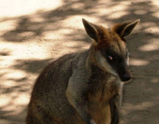 A wallaby at the zoo in Sydney., Australia