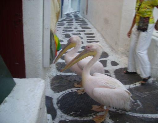 Photos of the pelicans of Mykonos., Greece