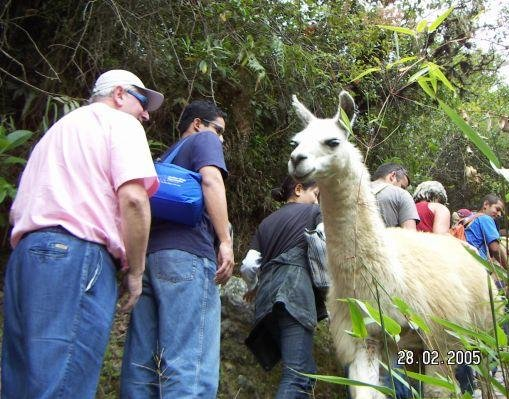 Photo of a local lama in Machu Picchu, Peru