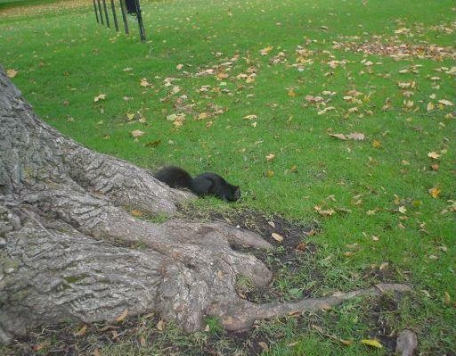 Niagara Falls Canada Photo of a Black Squirrel in Niagara Falls.