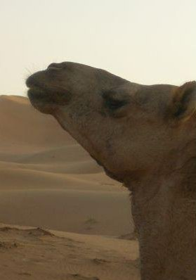 Picture of a camel in the desert of Dubai., United Arab Emirates