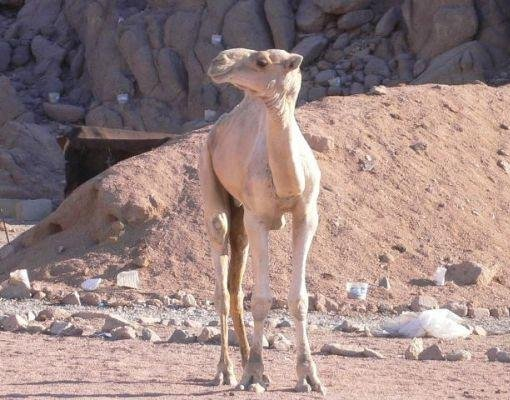 A camel in the desert, Egypt., Sharm el-Sheikh Egypt