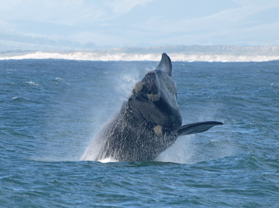 Whale watching at Hermanus! Hermanus South Africa Africa
