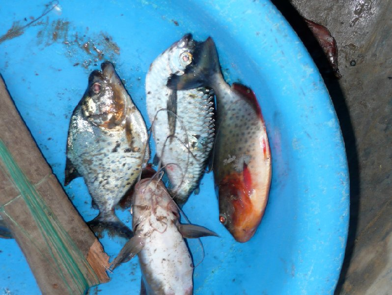 Photos of the piranha's we catched in the pampas., Bolivia