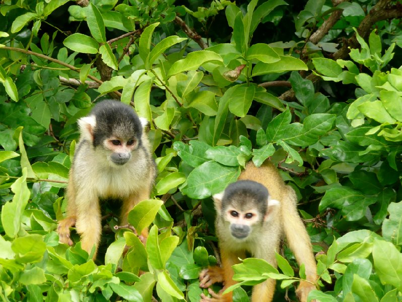 Rurrenabaque Bolivia Two little monkeys in the pampas, Bolivia.