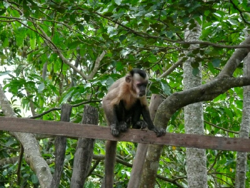 Monkey picture in the rainforest, Bolivia., Bolivia