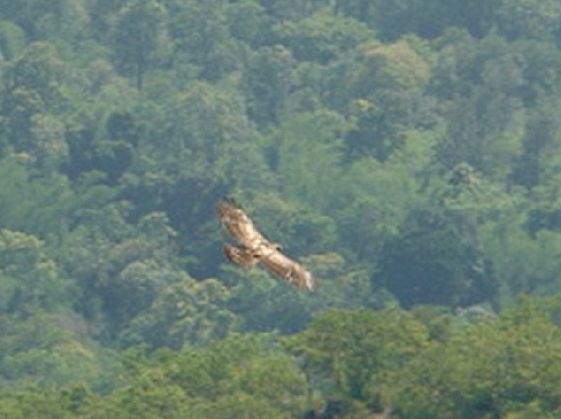 Photo of an eagle flying in the Nilgiri Hills of India., Kochi India