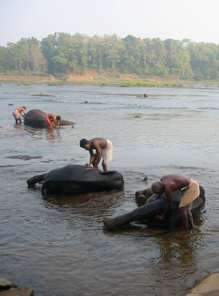 Three elephants are getting a bath in the river., India