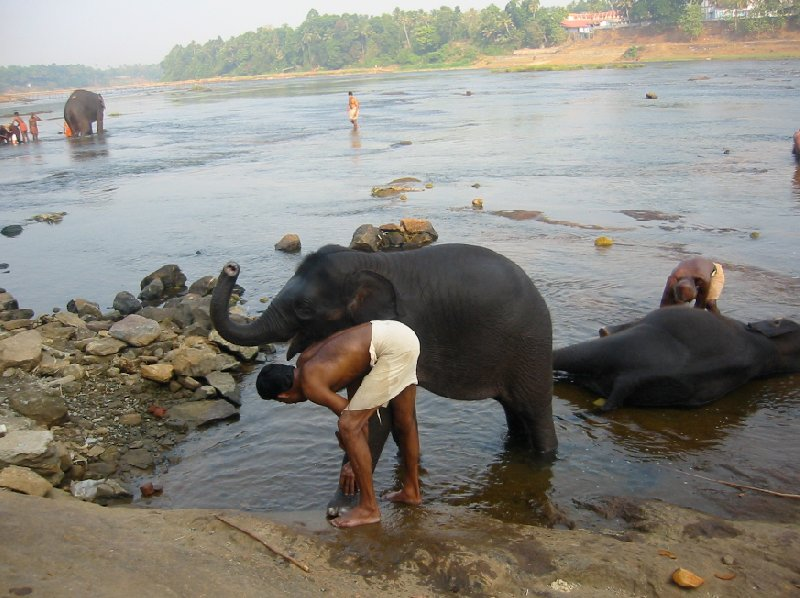 Bathing the elephants in Kochi, India., India